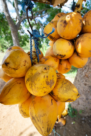 King Coconut, Kataragama