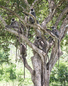 Monkey Tree - Hanuman Langur