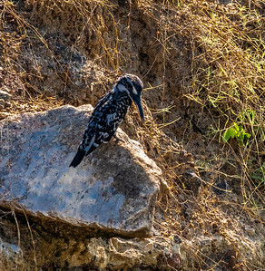 Sri Lanka - Yala NP - Pied Kingfisher