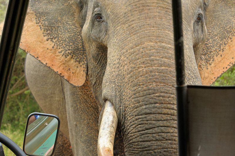 Elephant raiding a tourist vehicle for food