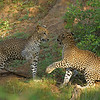 Two Leopards play fighting in Yala national park, Sri Lanka