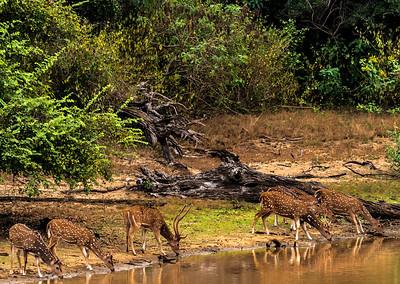 Sri Lanka - Yala NP - Spotted Deer