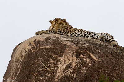 Leopards Of  Yala Sri Lanka