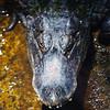 Alligator at St. Augustine Alligator Farm in St. Augustine, Florida in June 2010.