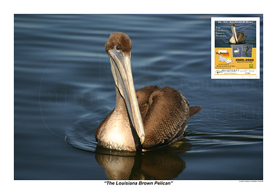 The Louisiana Brown Pelican Published in 2005-2006 on the Cover of the St. Bernard Phone Directory.  Photography By: Lloyd R. Kenney III ©2004 All Rights Reserved. Contact info: LloydKenneyiii@gmail.com