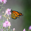 """Monarch on Pink Flower"" by Jourdyn, 17 