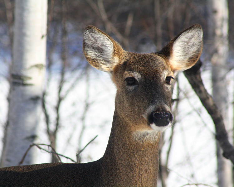 """Winter Whitetail"" by Bobby, 14 