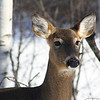 "St. Croix National Scenic Riverway: Bobby, 14 - ""Winter Whitetail"""
