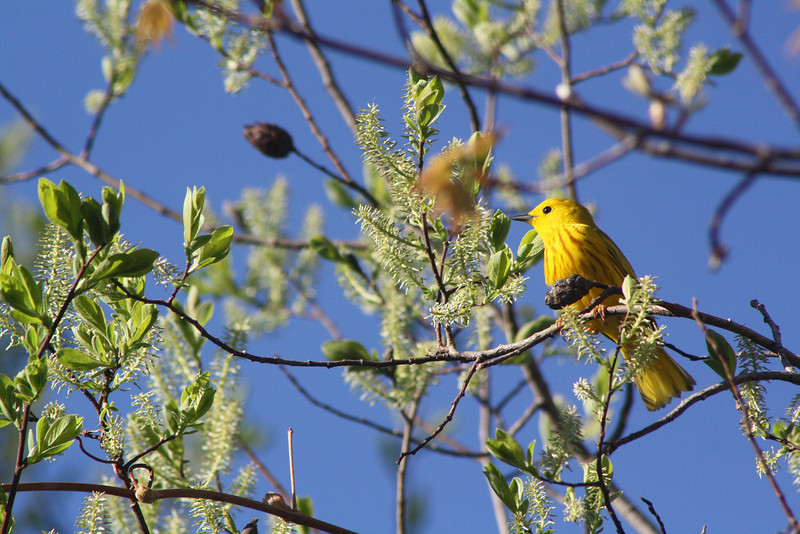 """Yellow Warbler"" by Kyle 