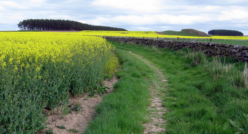 The fields are alive with the glow of rapeseed (with apologies to Rodgers, Hammerstein and Andrews)