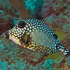Smooth Trunkfish (Rhinesomus triqueter)