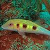 Spotted Goatfish (Pseudopeneus maculatus)