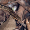 Red-bellied racer (Alsophis rufiventris)
