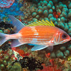 Squirrelfish (Holocentrus adscensionis)