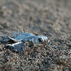 green sea turtle hatchling (Chelonia mydas)