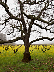 St. Helena Mustard-.jpg