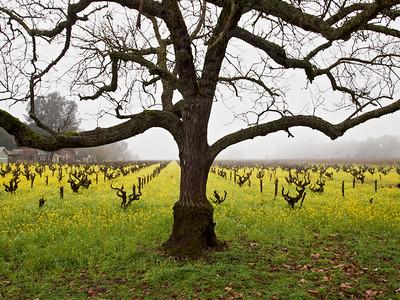 St. Helena Mustard-1174766.jpg