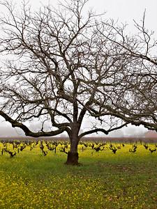 St. Helena Mustard-1174764.jpg
