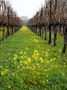 St. Helena Mustard On A Foggy Day-1174736.jpg