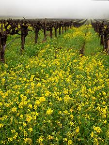 St. Helena Mustard-1174753.jpg