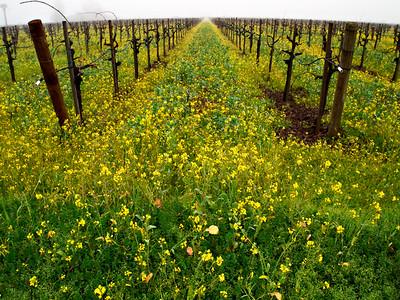 St. Helena Mustard-1174756.jpg