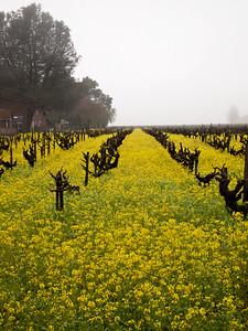 St. Helena Mustard-1174763.jpg