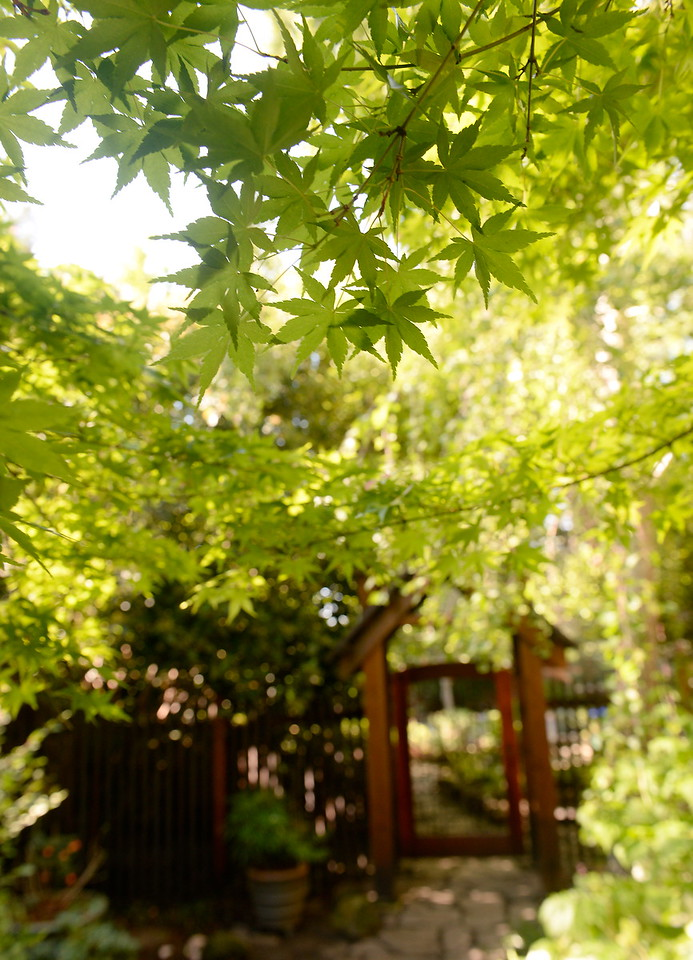 A Japanese Maple near the entrance to the backyard is seen during a tour of the garden at Ruth Guzley's residence in Chico, Calif. Friday April 14, 2017. This is one of the gardens that will be featured during the St. John Episcopal Church Garden Tour.  (Bill Husa -- Enterprise-Record)
