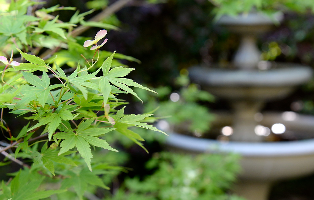 . A Japanese Maple thrives near a fountain seen during a tour of the garden at Ruth Guzley\'s residence in Chico, Calif. Friday April 14, 2017. This is one of the gardens that will be featured during the St. John Episcopal Church Garden Tour.  (Bill Husa -- Enterprise-Record)