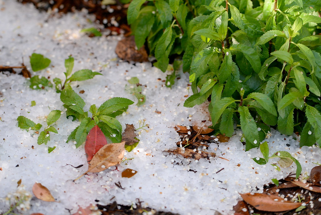 . Leftover hail from yesterdays storm is seen during a tour of the garden at Ruth Guzley\'s residence in Chico, Calif. Friday April 14, 2017. This is one of the gardens that will be featured during the St. John Episcopal Church Garden Tour.  (Bill Husa -- Enterprise-Record)