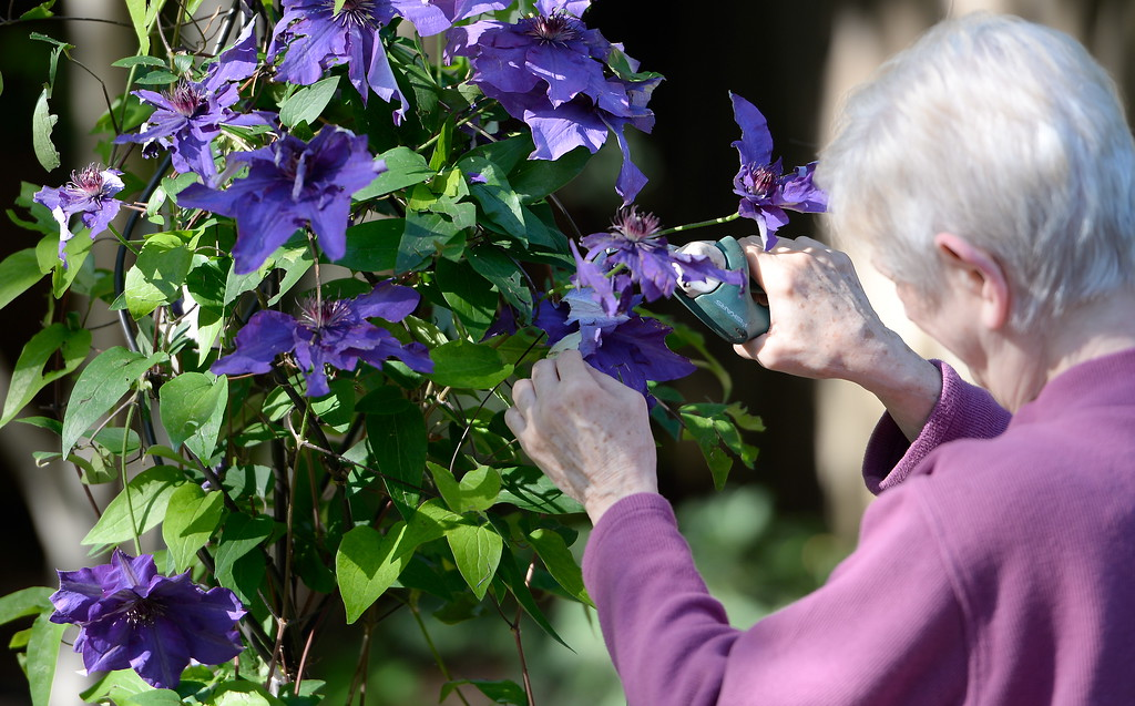 . Ruth Guzley trims flowers after a hail storm damaged some of the flowers at her residence in Chico, Calif. Friday April 14, 2017. This is one of the gardens that will be featured during the St. John Episcopal Church Garden Tour.  (Bill Husa -- Enterprise-Record)