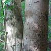 A Genip tree