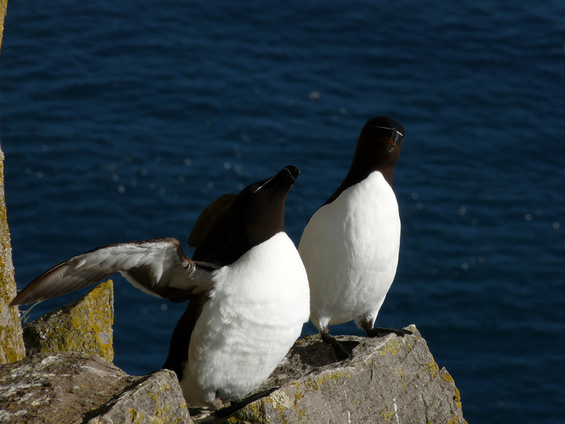 Razorbills on ledge