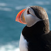 Puffin looking to sea