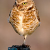 Burrowing Owl on Fence Post