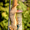 Squirrel Hanging Upside Down on Birdfeeder