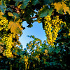 Fresh ripe grapes on the vine on Idaho farm