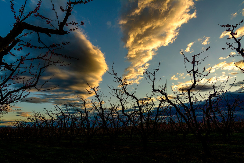 First light over blooming fruit orchard trees southern Idaho