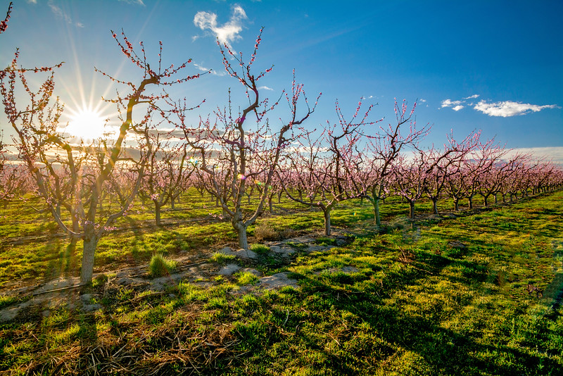 Sun star starts the day at this Peach tree orchard