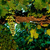 Wine grapes on a winery farm near Caldwell Idaho