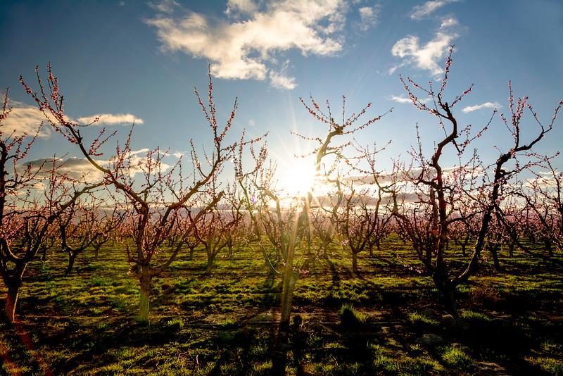 Sun peeks through fruit trees in bloom