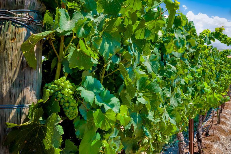 Row of grapes at a local Idaho winery