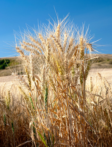 Cluster of wheat and blue sky