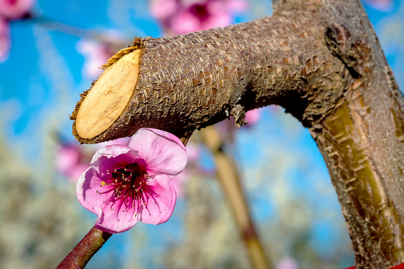 Orchard trimmed Peach tree and bloom