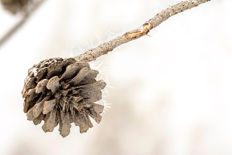 Brown pine cone with frost winter