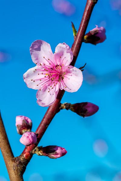 Peach tree bloom in spring
