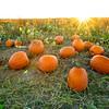 Family farm pumpkin patch sunrise