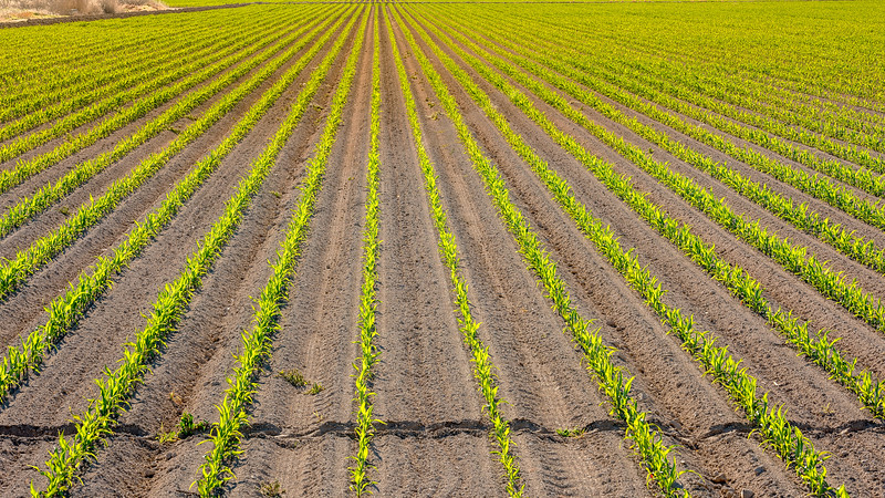 Corn crop just planted in rows on Idaho farm