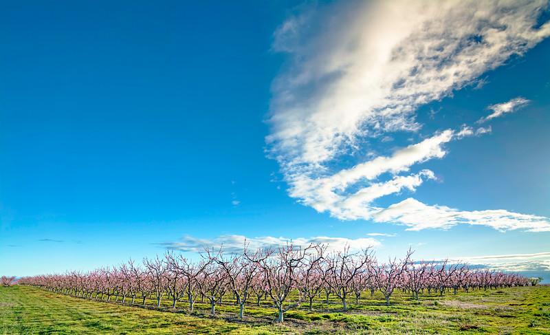 Rows of fruit trees in bloom