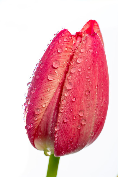 Single red tulip with dew drops