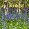 Blooming Camas Liliess in an Aspen grove